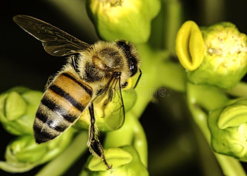 Abelha no fim da flor acima da vista superior - abelha macro foto de stock royalty free