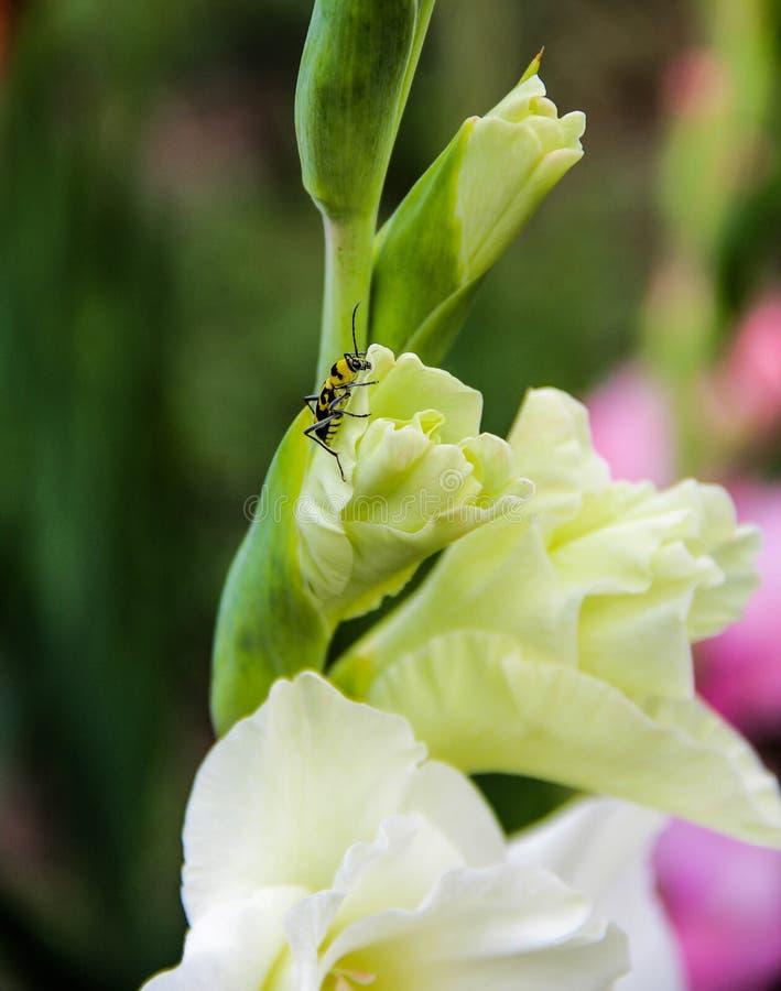 Abelha no fundo branco da flor do gladiola imagem de stock
