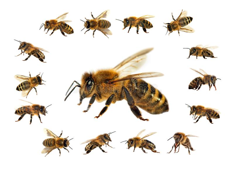 Abelha ou abelha isolada no fundo branco imagens de stock
