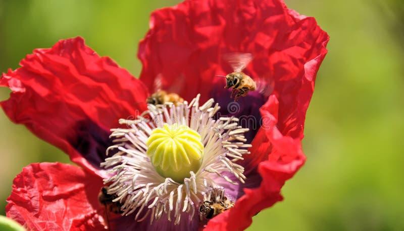 A abelha paira sobre a flor vermelha da papoila fotos de stock royalty free