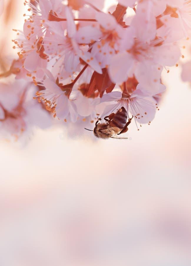 Abelha pequena na árvore de cereja de florescência imagem de stock royalty free