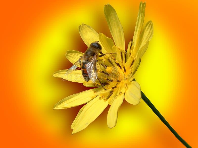 Abelha pequena na flor amarela fotografia de stock