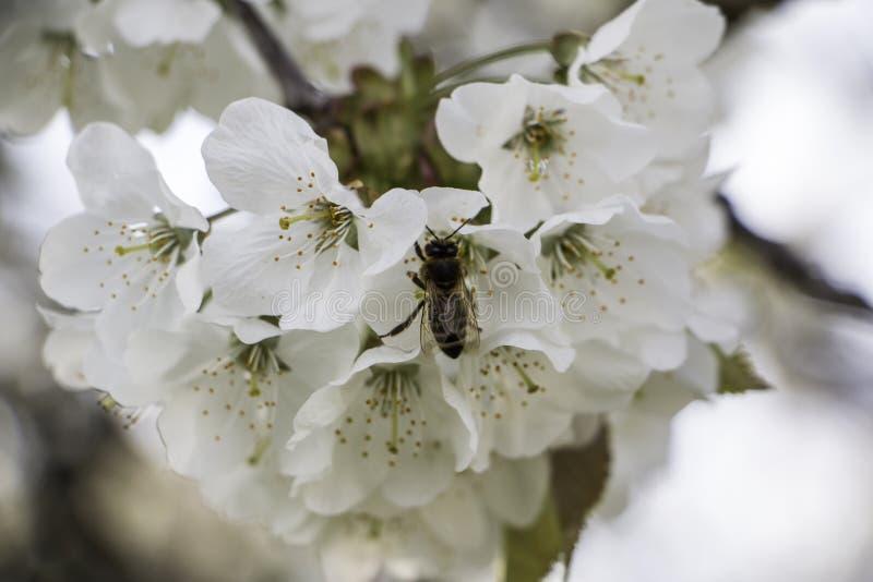 Abelha pequena que come seu alimento da flor imagens de stock royalty free