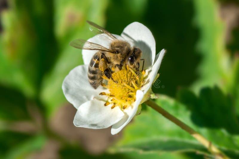 A abelha poliniza a flor da morango Inseto em uma flor branca foto de stock royalty free