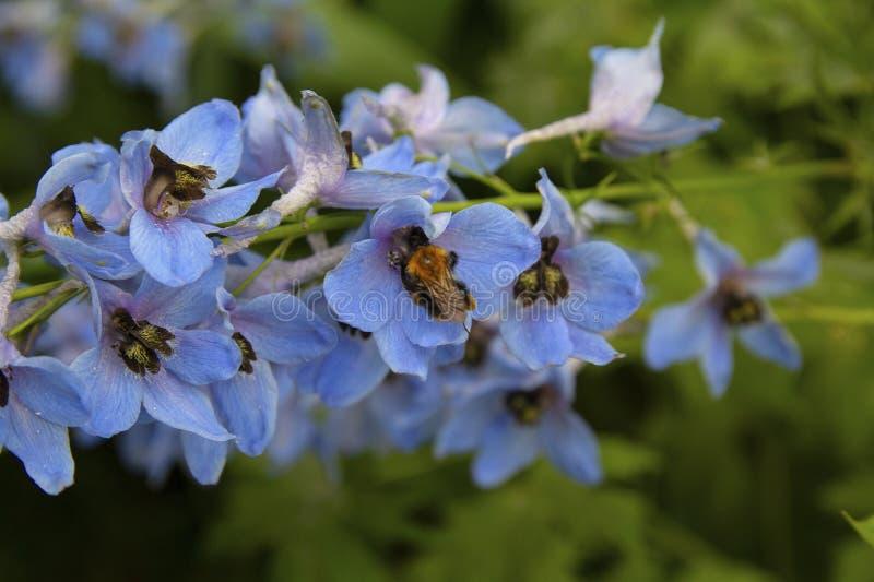 A abelha poliniza flores selvagens azuis em um prado imagem de stock royalty free