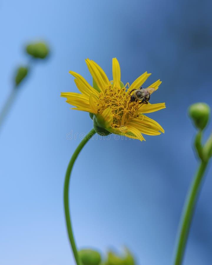 Abelha que alimenta e que poliniza na flor bonita do sol com uma haste curvada com os céus azuis vívidos no fundo - perspectiva q fotografia de stock royalty free
