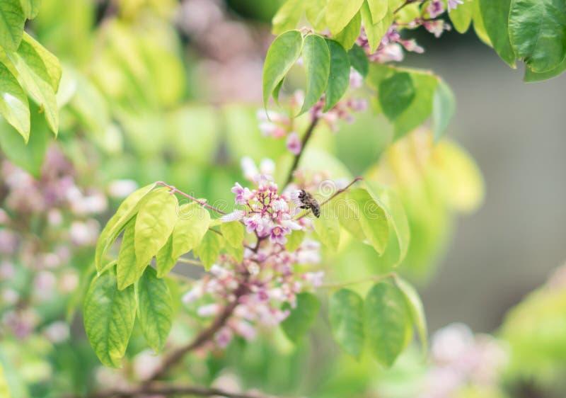 A abelha que poliniza a flor da árvore do starfruit fotografia de stock royalty free