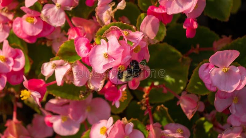 Abelha que poliniza flores cor-de-rosa fotografia de stock