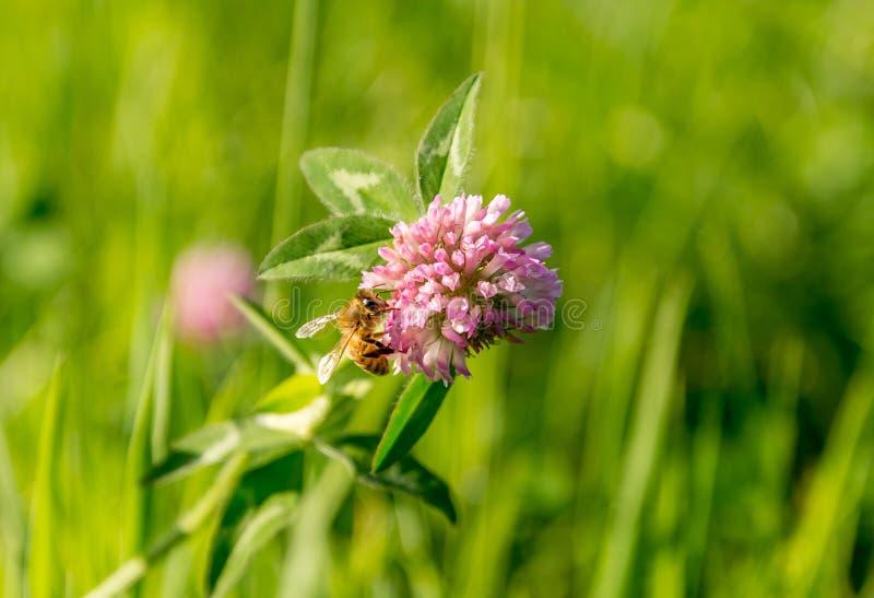 Abelha que poliniza uma flor do campo imagem de stock