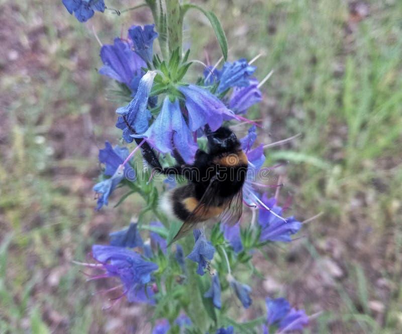 abelha que procura o néctar delicioso fotografia de stock royalty free