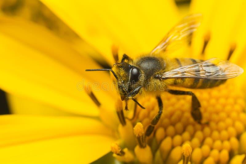 abelha que recolhe o mel em uma flor amarela imagem de stock royalty free