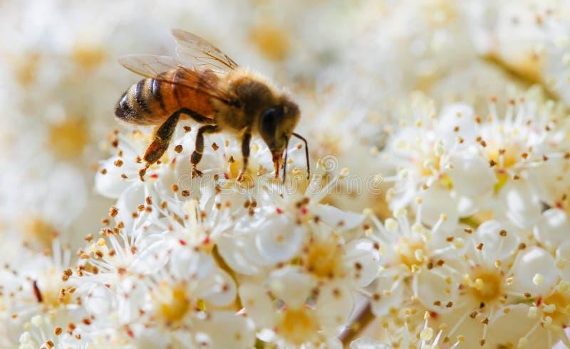 Abelha que recolhe o pólen de uma flor branca imagem de stock