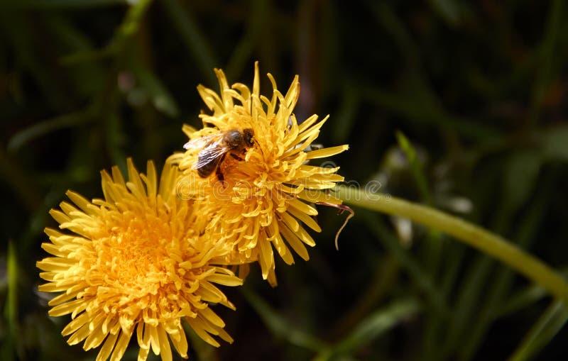Abelha que recolhe o pólen na flor amarela do dente-de-leão imagens de stock royalty free