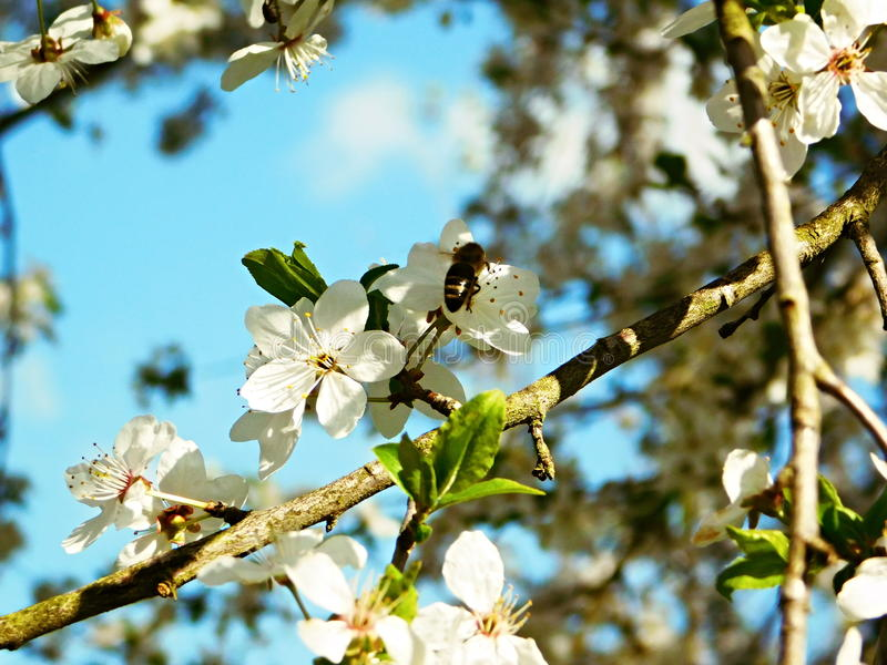 Abelha que senta-se em uma árvore de ameixa de florescência imagem de stock