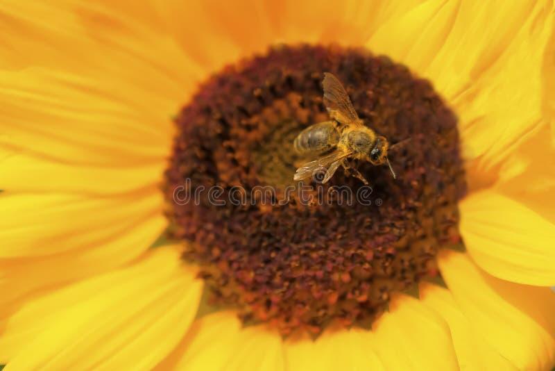 Abelha que senta-se na flor amarela A abelha do mel recolhe o pólen na flor fotografia de stock royalty free