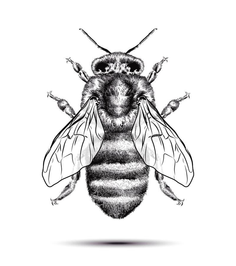 Abelha realística do mel isolada em um fundo branco Desenho branco preto Ilustração gráfica para seu projeto ilustração do vetor