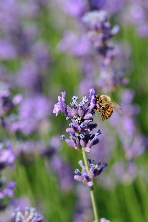 A abelha recolhe a flor scented da alfazema fotos de stock royalty free
