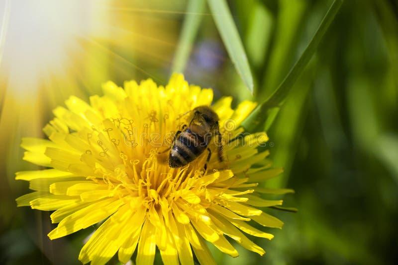 A abelha recolhe nectaring na flor amarela do dente-de-leão imagens de stock