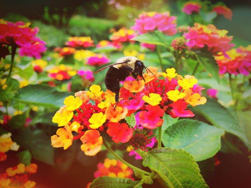 A abelha recolhe o mel das flores coloridas de florescência do Lantana foto de stock royalty free