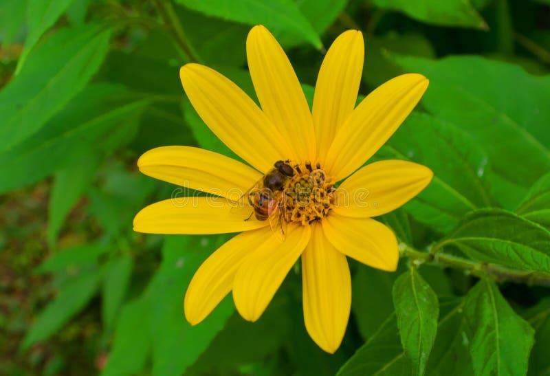A abelha recolhe o mel em uma flor amarela do tupinambo fotografia de stock