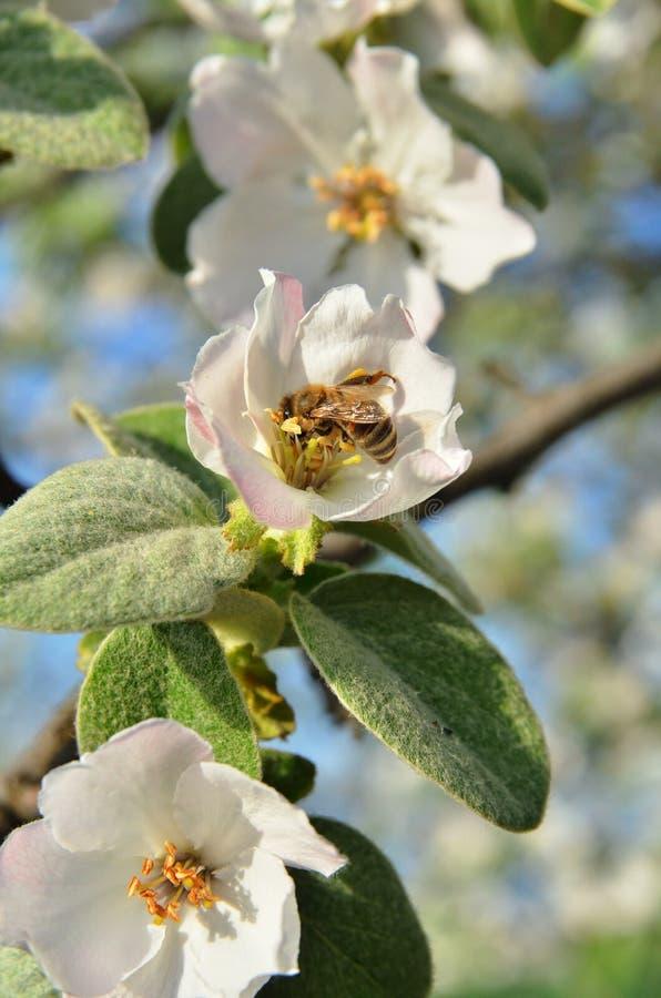 A abelha recolhe o mel na inflorescência da árvore de maçã imagem de stock royalty free