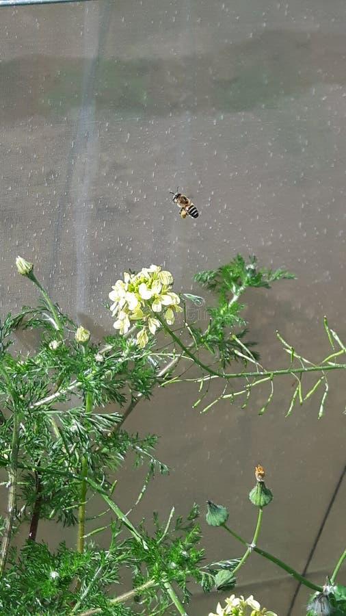 a abelha recolhe o néctar das flores imagem de stock