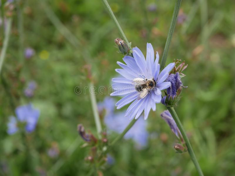 A abelha recolhe o néctar em flores azuis da chicória em um dia de verão ensolarado Flores do campo Beleza na natureza fotografia de stock