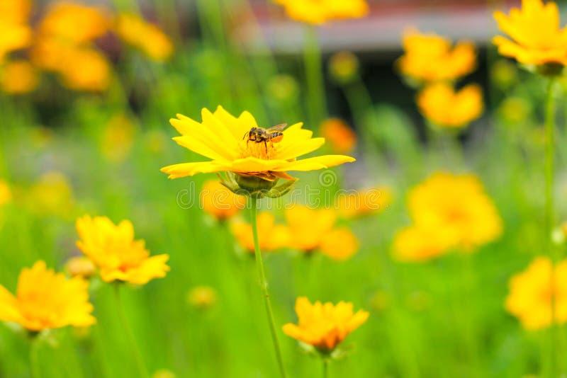 a abelha recolhe o néctar em uma margarida amarela em um campo verde imagens de stock