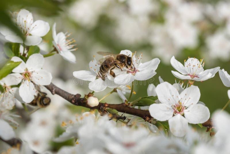 A abelha recolhe o n?ctar e o p?len nas flores brancas da cereja fotos de stock