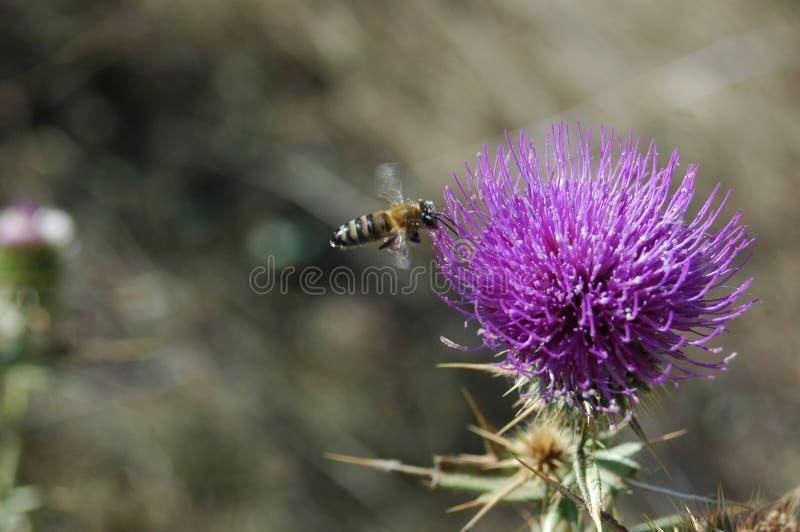 A abelha recolhe o pólen da flor do cardo Foto macro imagens de stock