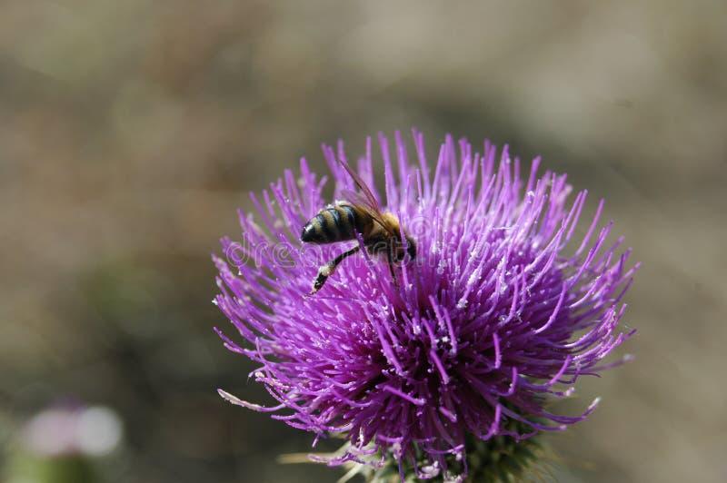 A abelha recolhe o pólen da flor do cardo Foto macro imagens de stock royalty free