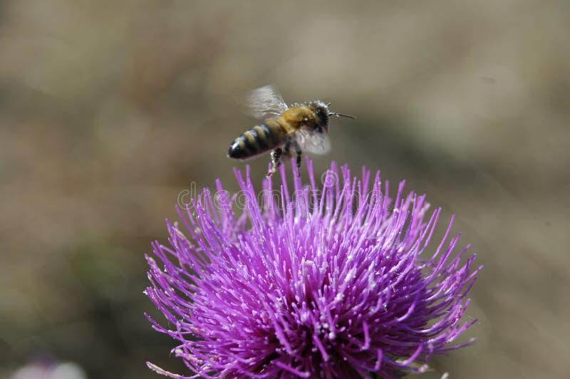 A abelha recolhe o pólen da flor do cardo Foto macro foto de stock
