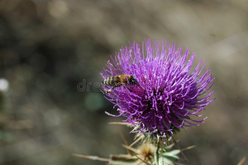 A abelha recolhe o pólen da flor do cardo Foto macro fotografia de stock