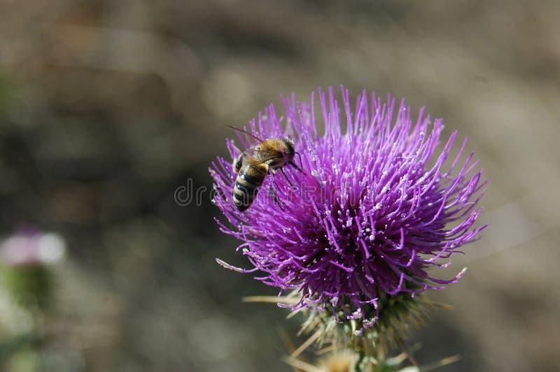 A abelha recolhe o pólen da flor do cardo Foto macro fotos de stock royalty free