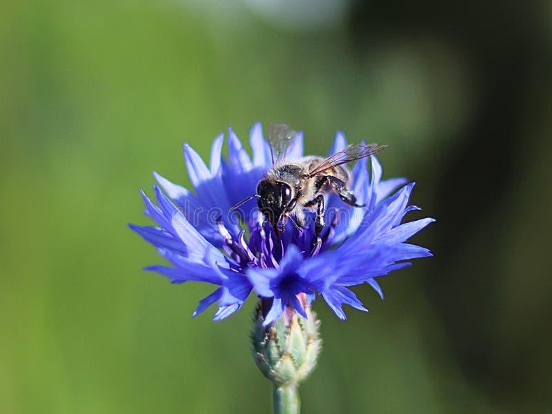 A abelha recolhe o pólen de uma flor azul do campo em um fundo verde Foto macro de uma planta e de insetos do campo nos raios da  fotos de stock