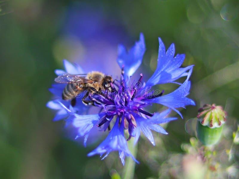 A abelha recolhe o pólen de uma flor azul do campo em um fundo verde Foto macro de uma planta e de insetos do campo nos raios da  imagens de stock