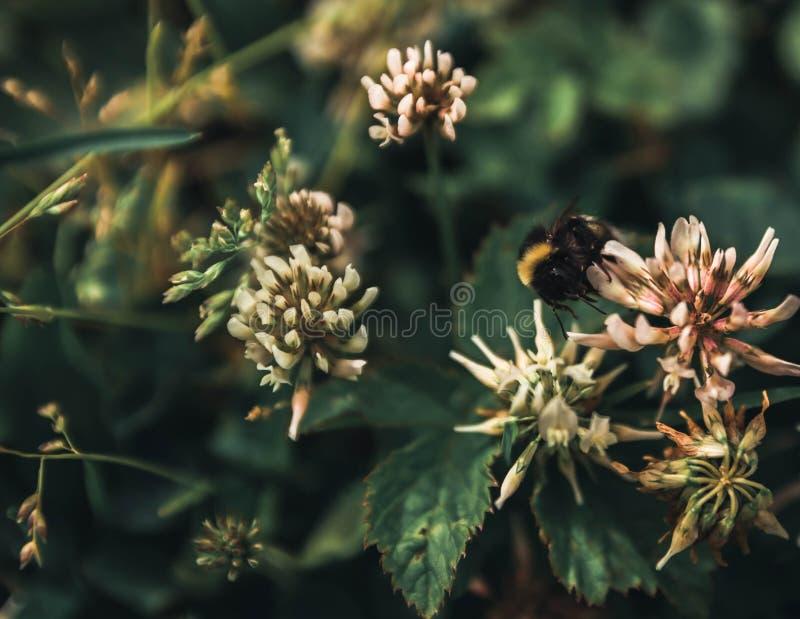 a abelha recolhe o pólen do bolo sem dias livres e feriados imagens de stock royalty free