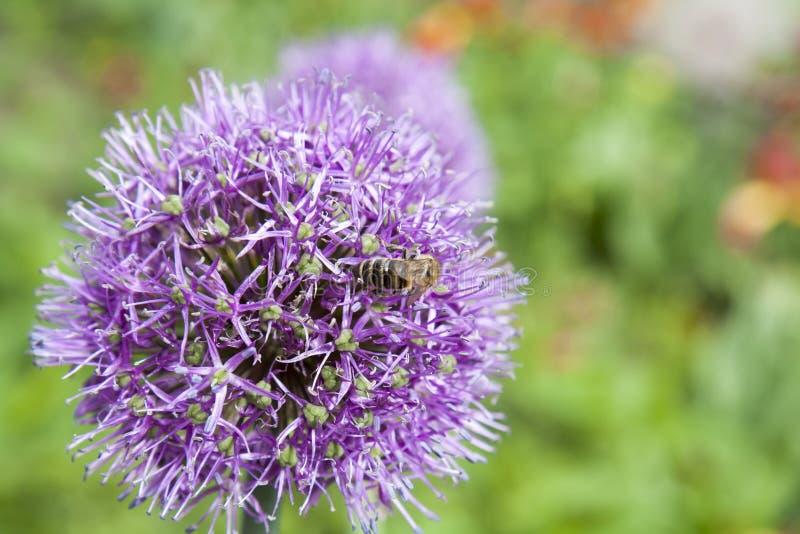 A abelha recolhe o pólen e o néctar do Allium roxo de florescência bonito fotos de stock royalty free