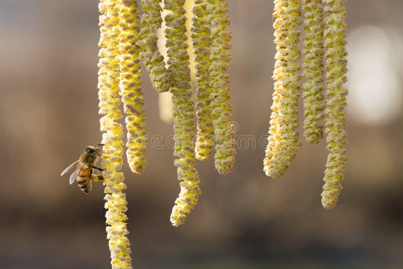 A abelha recolhe o pólen na avelã foto de stock