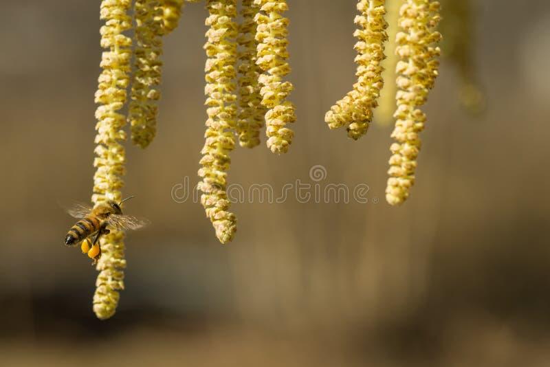 A abelha recolhe o pólen na avelã imagem de stock