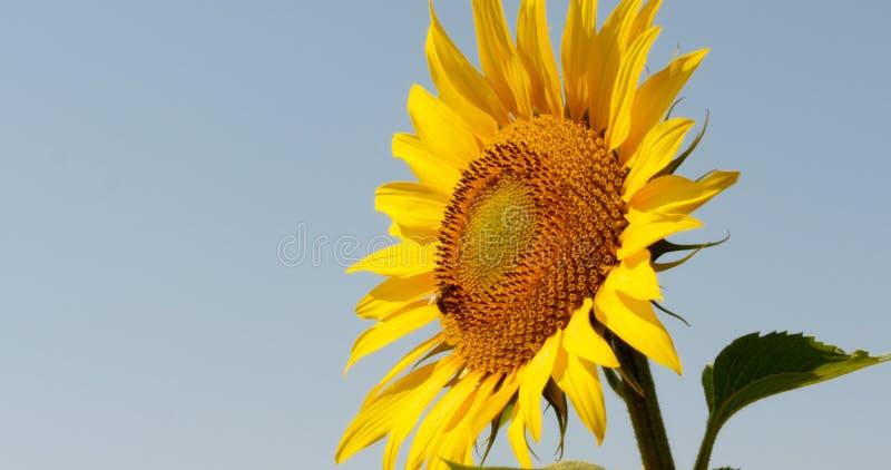 A abelha recolhe o pólen no girassol fotografia de stock royalty free