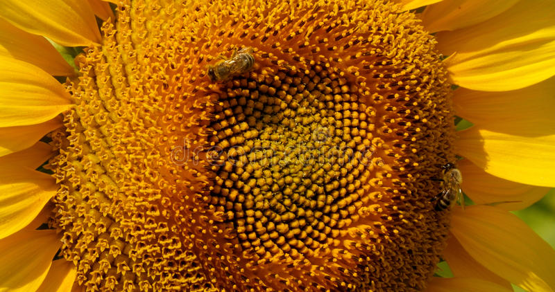 A abelha recolhe o pólen no girassol fotos de stock