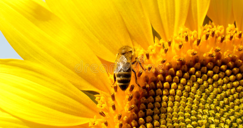 A abelha recolhe o pólen no girassol foto de stock royalty free