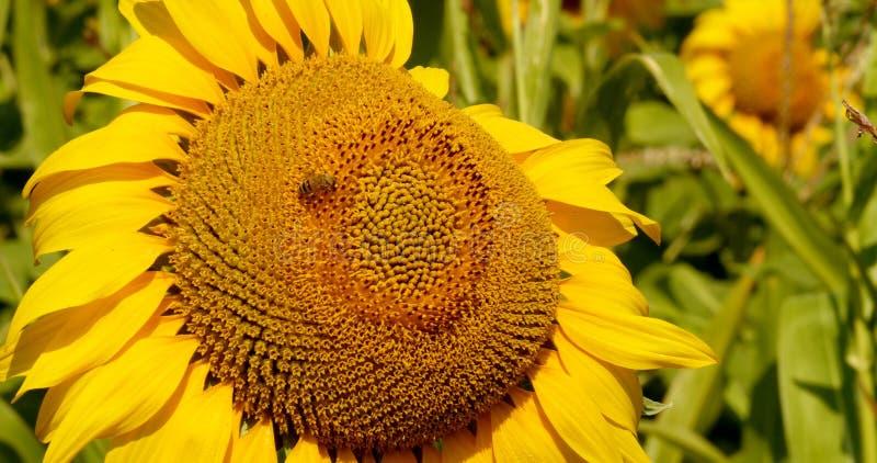 A abelha recolhe o pólen no girassol imagens de stock royalty free