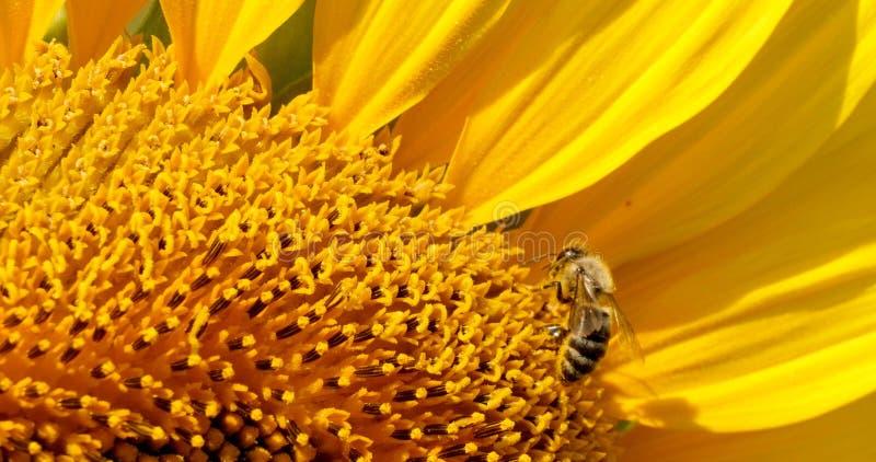 A abelha recolhe o pólen no girassol imagem de stock