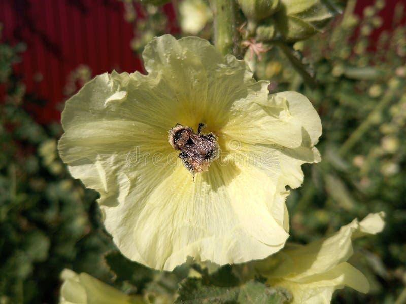 a abelha selvagem poliniza uma flor da malva imagens de stock