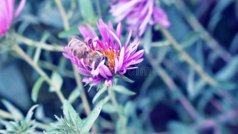 A abelha selvagem recolhe o néctar em flores selvagens fotos de stock