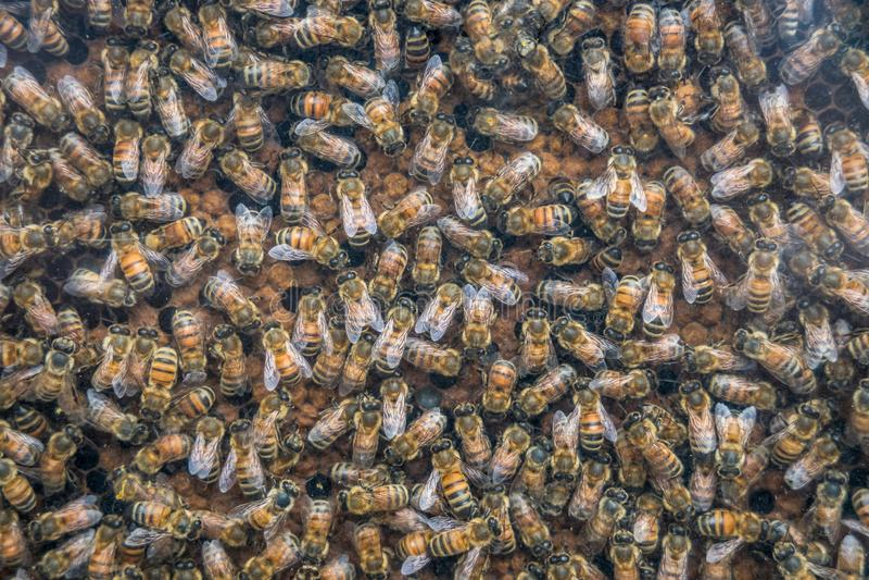 Abelhas de trabalho nas pilhas do mel, close up das abelhas no fundo do favo de mel fotografia de stock