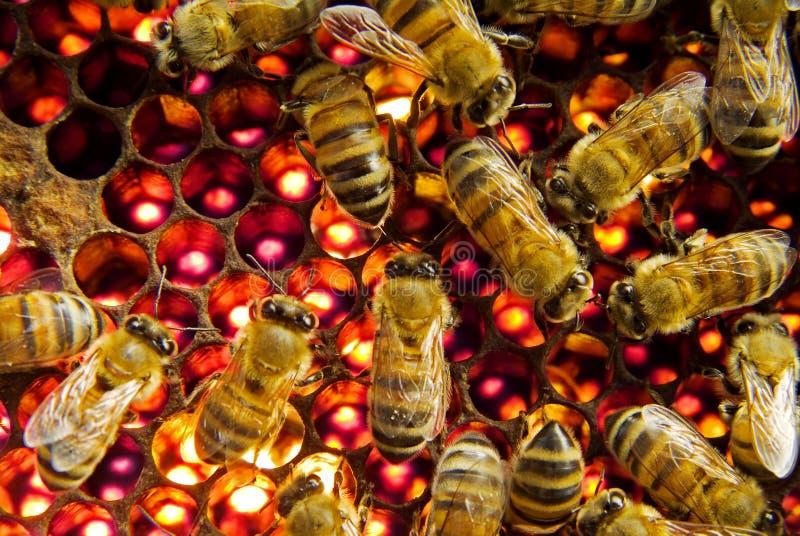 Abelhas dentro da colmeia foto de stock