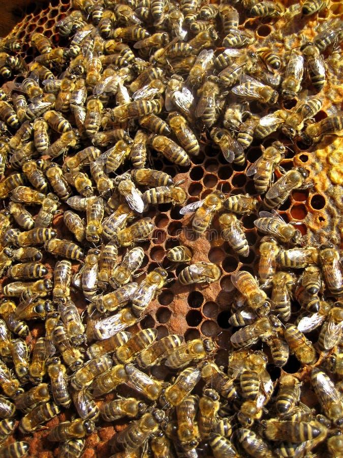 Abelhas e favo de mel imagens de stock royalty free